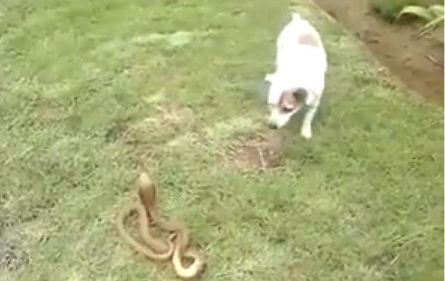 La pelea de un perro y una cobra, el viral del día.