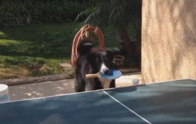 Furor en las redes por el perro que juega al ping pong.