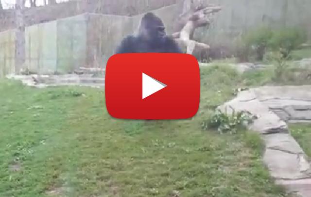 Un gorila enojado causó terror en un zoo.