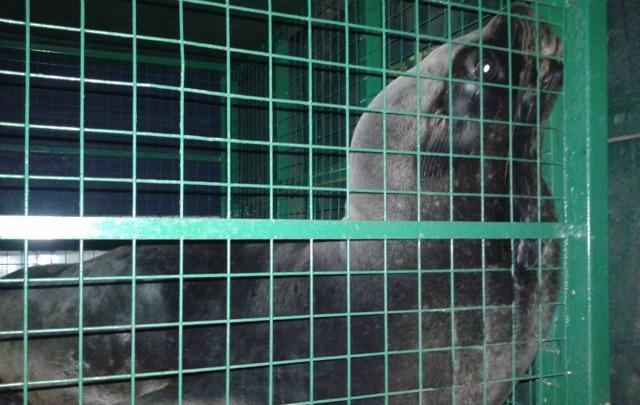 El animal viaja en una jaula acondicionada (Foto: Gentileza Darío Calderón)