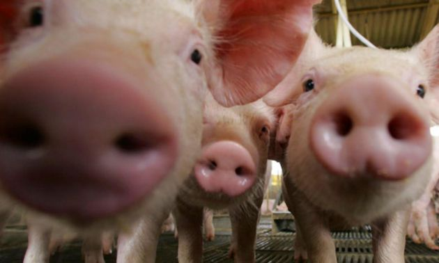 AUDIO: Jorge Brunori - Salud y Producción Porcina INTA