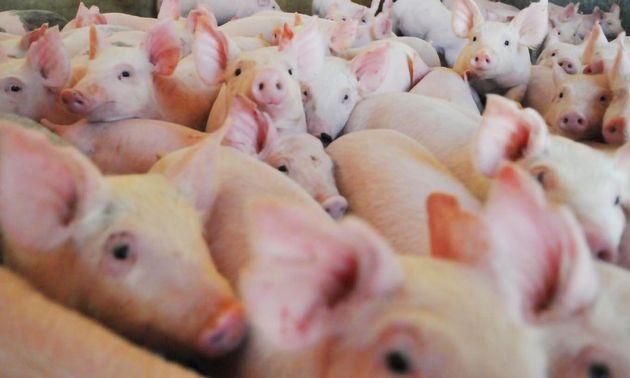 AUDIO: Marcos Torres - Pte. Cámara de Productores de Porcinos