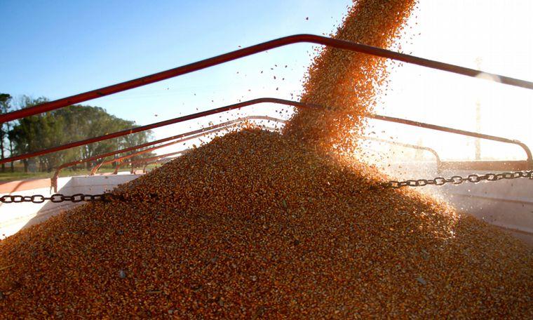 Declive del maíz