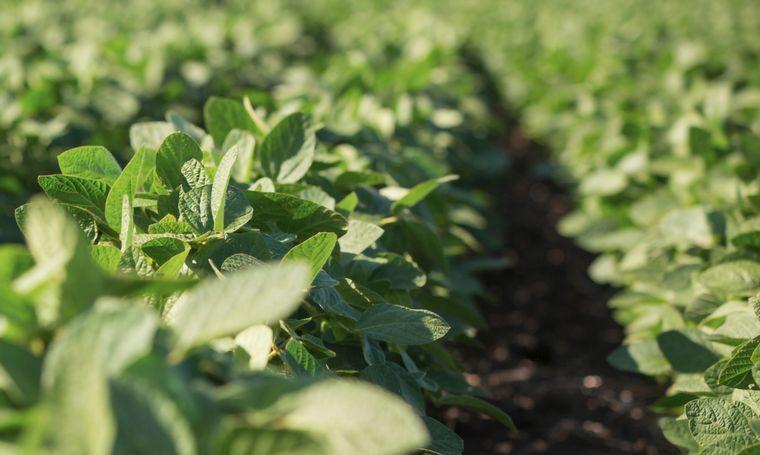 FOTO: Soja: ya se perdieron 2 millones de toneladas por la sequía.