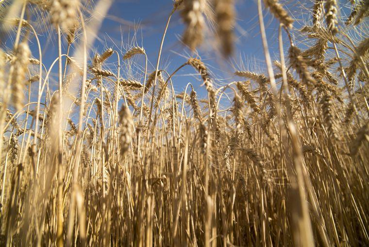 AUDIO: Daniela Rodríguez, departamento de información agronómica de la Bolsa de Cereales.