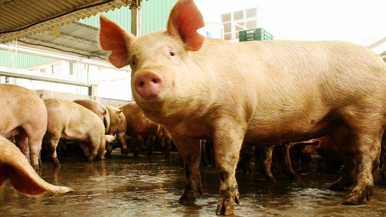 AUDIO: Jorge Brunori, especialista en producción porcina INTA Marcos Juárez