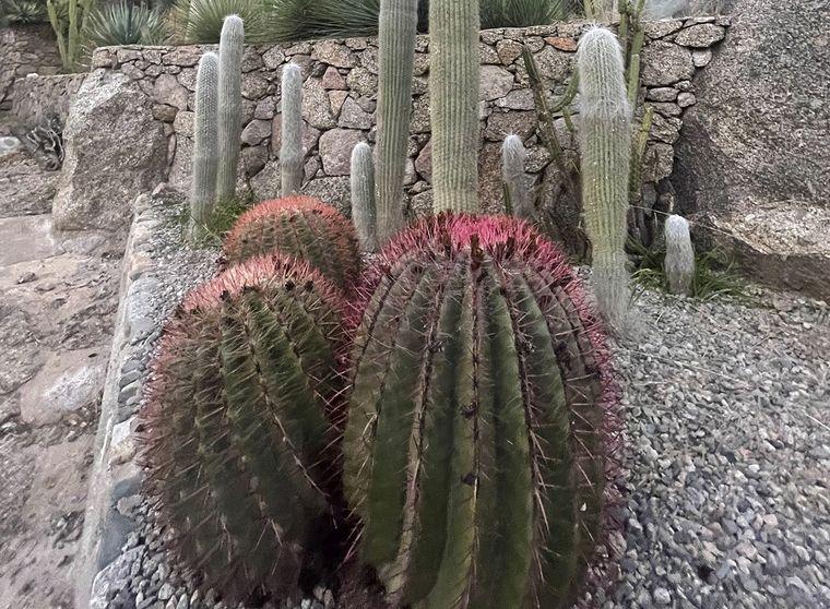 FOTO: Cactus en Chilecito